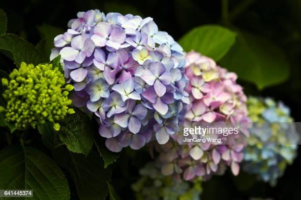 hydrangea flower heads - yokohama stock pictures, royalty-free photos & images