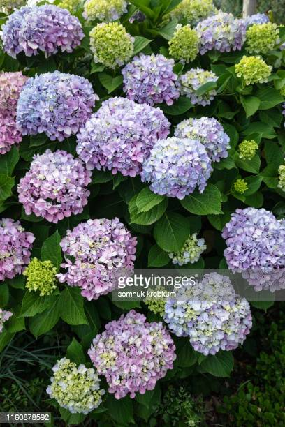hydrangea flower - あじさい ストックフォトと画像