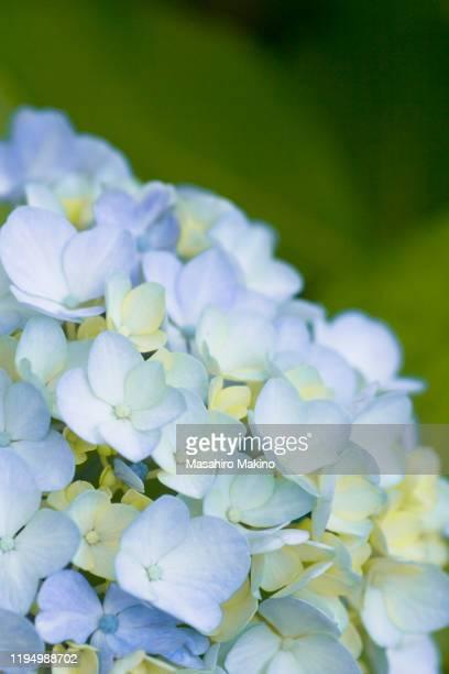 hydrangea flower - 繊細 ストックフォトと画像