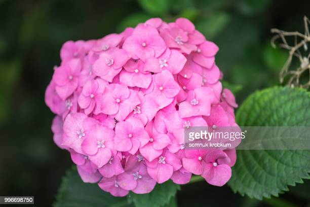 hydrangea flower - hydrangea stock pictures, royalty-free photos & images