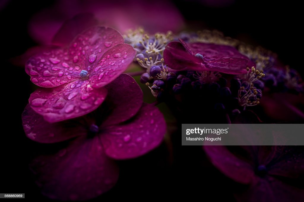 Hydrangea flowers in rain : Stock Photo