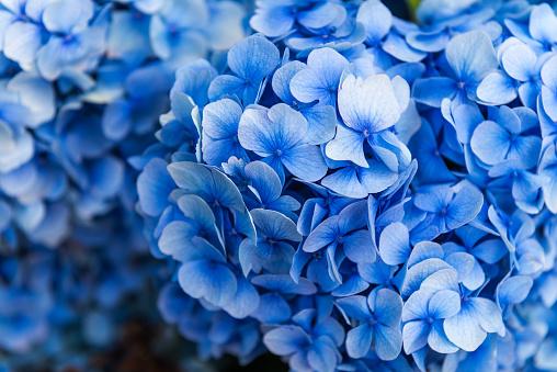 Hydrangea Flowers in the Garden 927499422