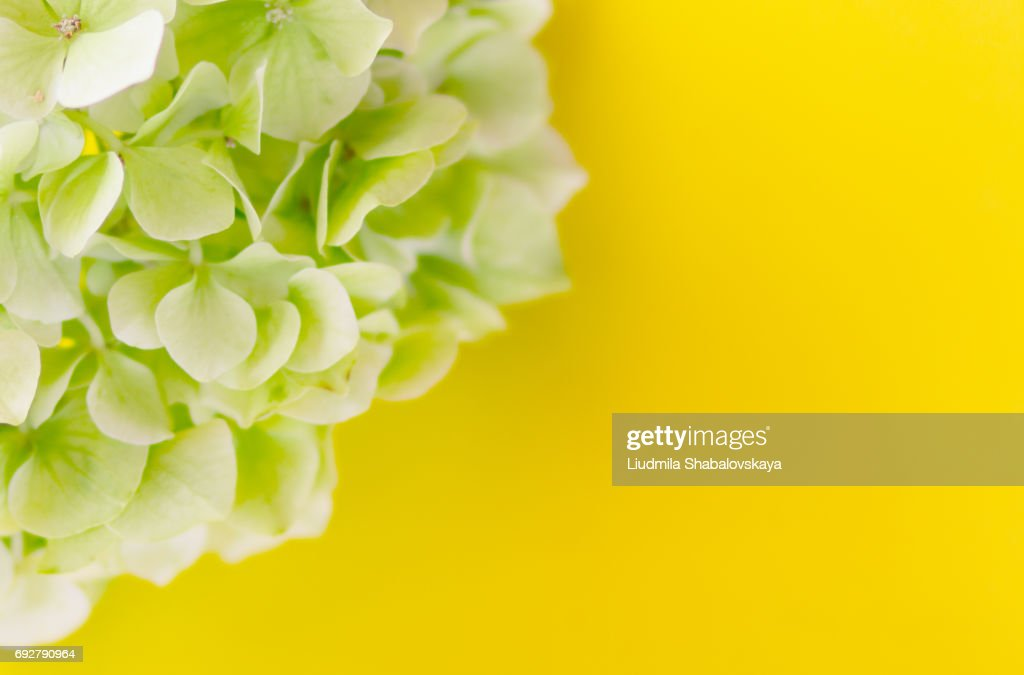 Hydrangea flowers on a yellow background stock photo getty images hydrangea flowers on a yellow background stock photo mightylinksfo