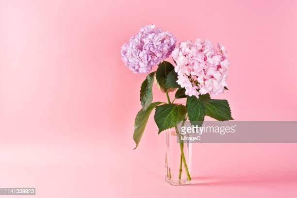 hydrangea flowers on pink background - フラワーアレンジメント ストックフォトと画像