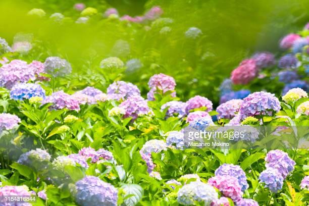 hydrangea flowers - あじさい ストックフォトと画像