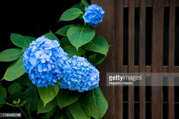 hydrangea flowers - rainy season stock pictures, royalty-free photos & images
