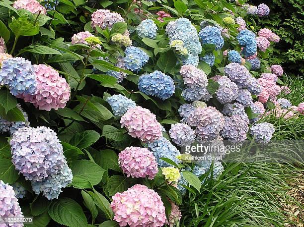 Hydrangea Hedge Heaven  Beautiful Hedge in DC
