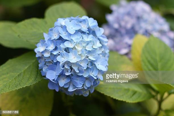 Hydrangea in July (blue)