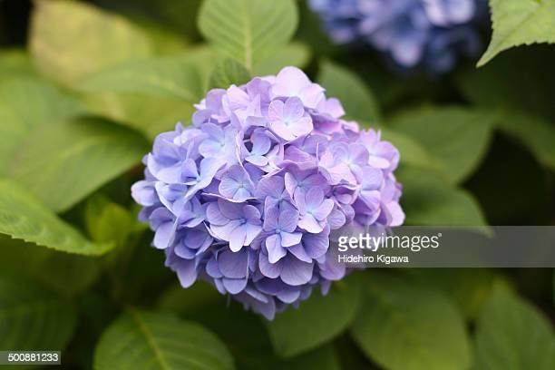 Hydrangea in July (purple)