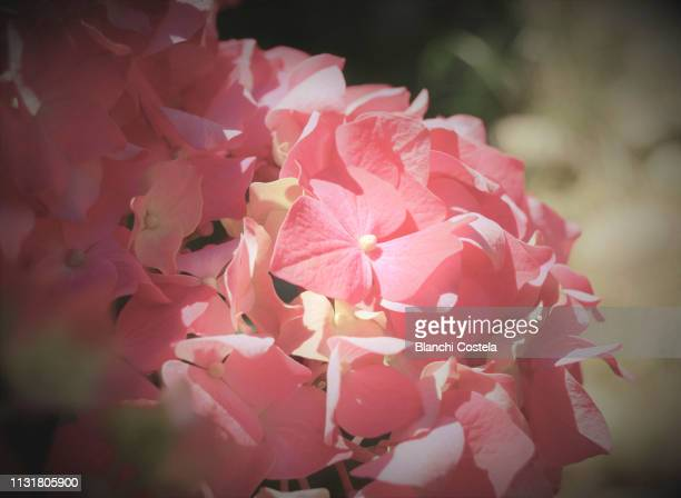 Hydrangea in pink color