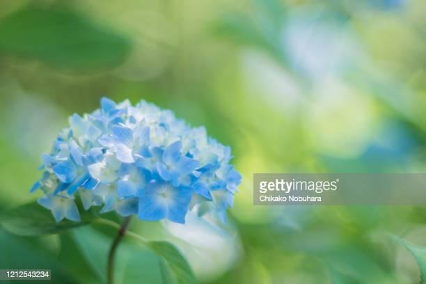 hydrangea in rainy season - あじさい ストックフォトと画像