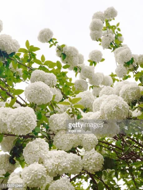hydrangea in yangzhou, china - yangzhou foto e immagini stock