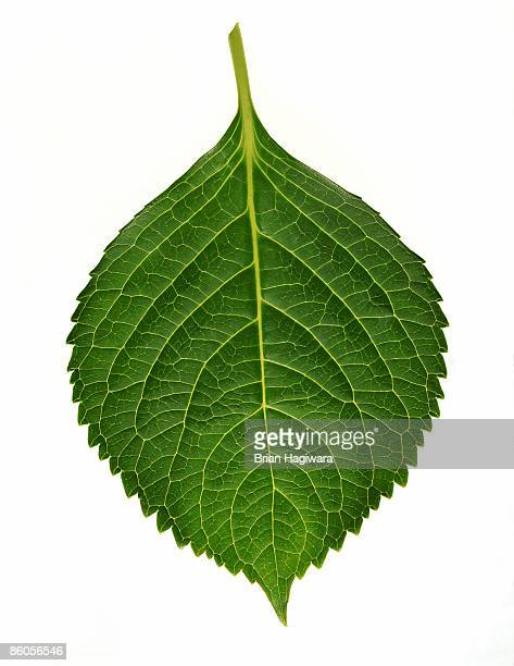 hydrangea leaf - leaf stock pictures, royalty-free photos & images