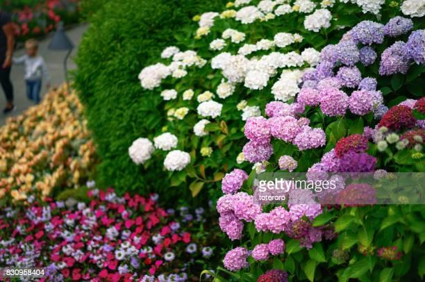Hydrangea Macrophylla (紫陽花 アジサイ) in Summer, in Vancouver BC Canada.