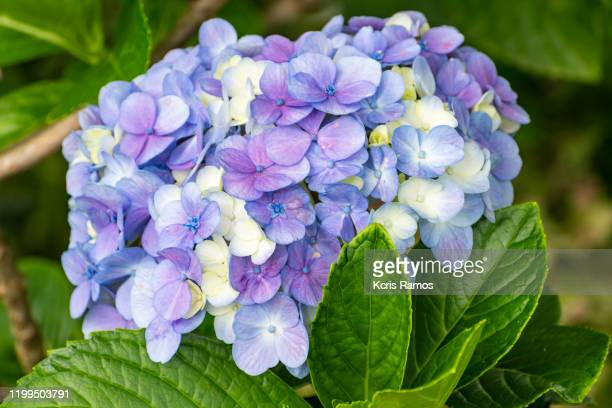 hydrangea macrophylla, known by the common names of hydrangea, - ornamental plant stock pictures, royalty-free photos & images