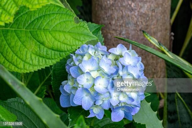 hydrangea macrophylla - crmacedonio - fotografias e filmes do acervo
