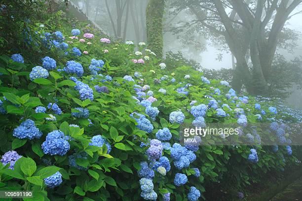 Hydrangea of Osaka Prefectural Nature Park, Higashiosaka, Osaka, Japan