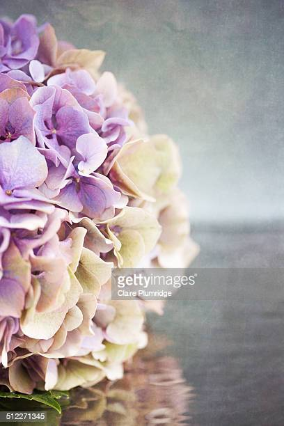hydrangea on water - claire plumridge stock pictures, royalty-free photos & images