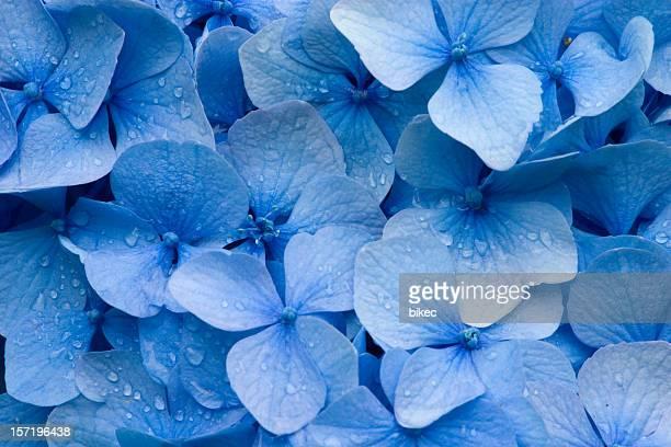 ortensia - blu foto e immagini stock