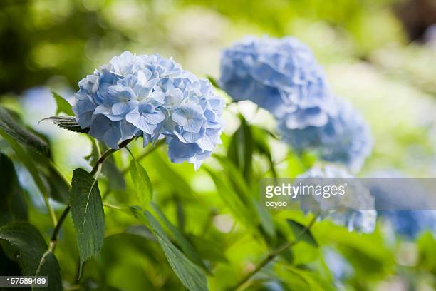 hydrangea - hydrangea stock pictures, royalty-free photos & images