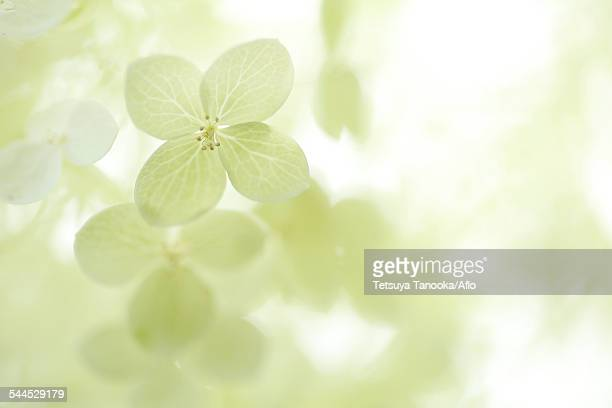 hydrangea - soft focus stock pictures, royalty-free photos & images