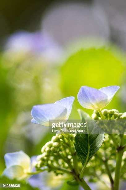 hydrangea - 六月 ストックフォトと画像