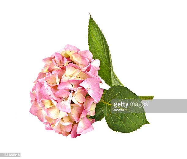 アジザイピンクの花