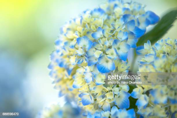 hydrangea which began to color blue - あじさい ストックフォトと画像