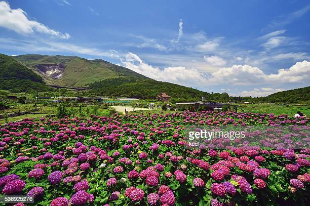 Hydrangea @ Yangmingshan National Park