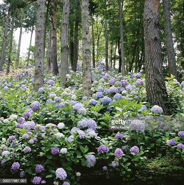 Hydrangeas among trees in Tenjozan Park