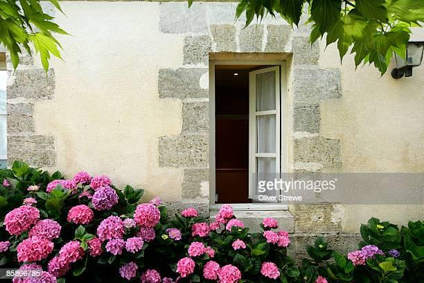 Hydrangeas growing outside a window.