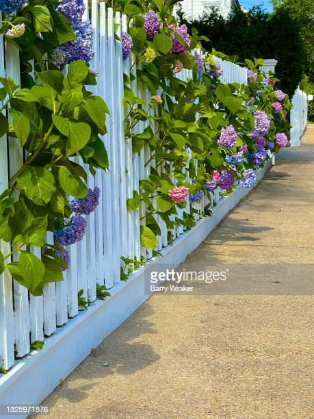 hydrangeas poking through white picket fence, sag harbor - sag harbor stock pictures, royalty-free photos & images