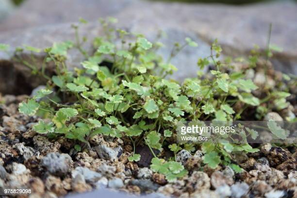hydrocotyle sibthorpioides 'variegata' - bos stock pictures, royalty-free photos & images