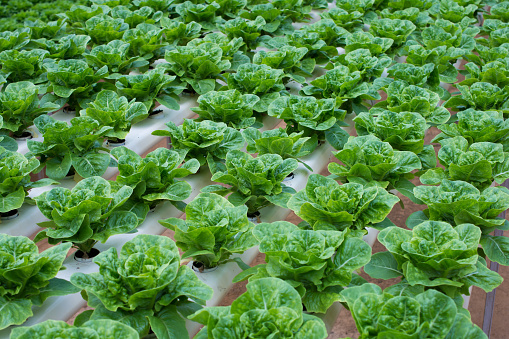 Hydroponic butterhead lettuce growing in greenhouse at Cameron Highlands, Malaysia - gettyimageskorea