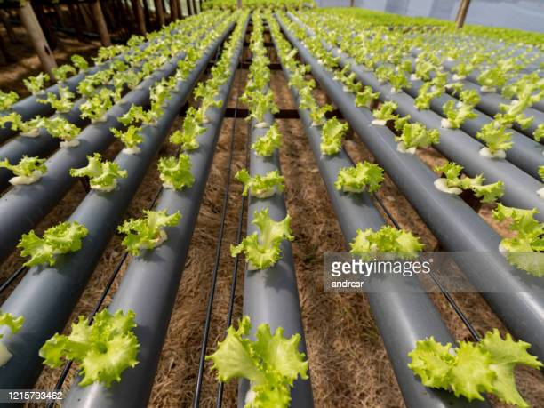 hydroponic crop of lettuce at a farm - food and drink industry stock pictures, royalty-free photos & images