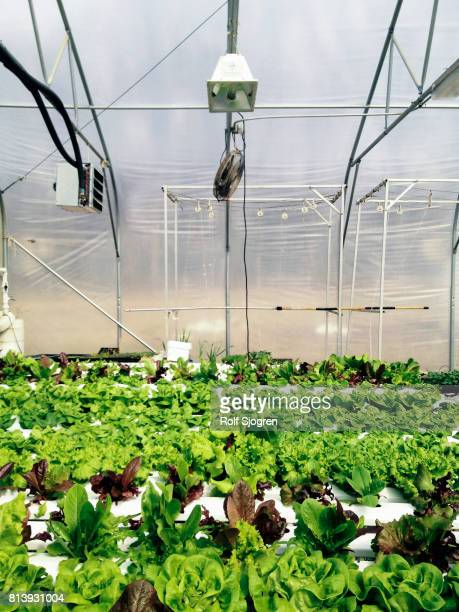Hydroponic greenhouse growing lettuce
