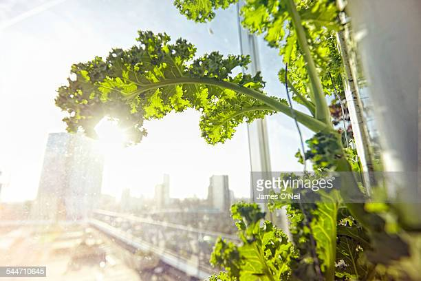 hydroponic organic kale