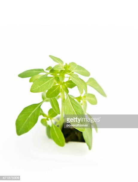 Hydroponic Spicy Globe Basil