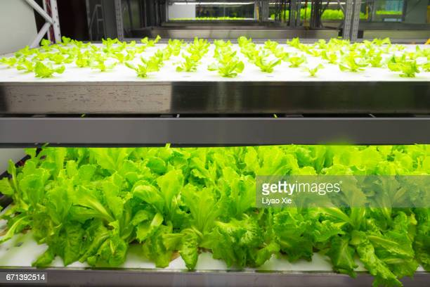 hydroponic system - liyao xie stock pictures, royalty-free photos & images