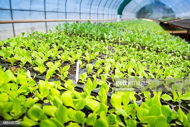 Hydroponic Gemüse in einem Garten.