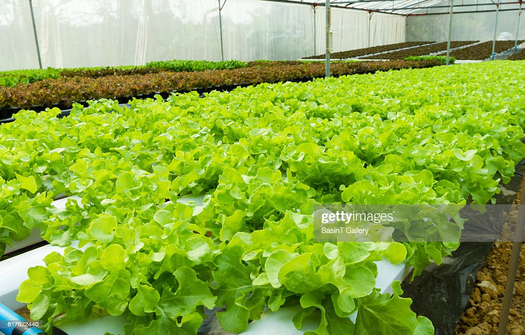 Hydroponic vegetable : Stock Photo