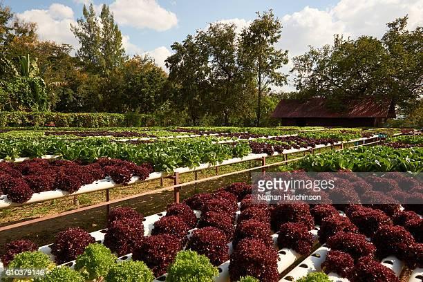Hydroponics / Aquaponics farming of green vegetables and lettuce.