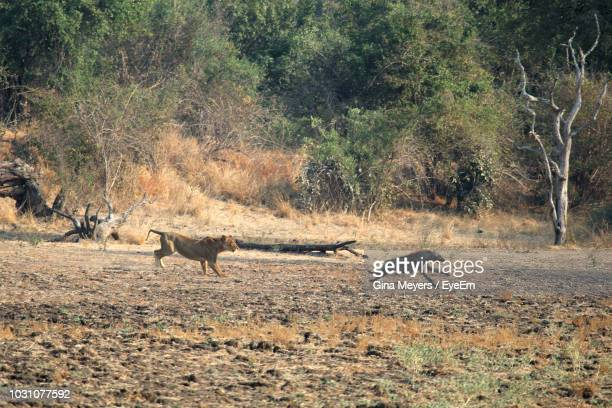 hyena and lion running in forest - hyena stock pictures, royalty-free photos & images