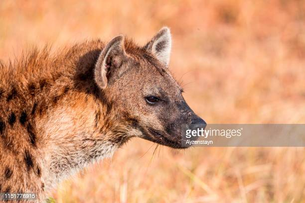 hyena and ticks - hyena stock pictures, royalty-free photos & images