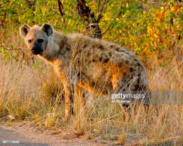 Hyena at Sunset