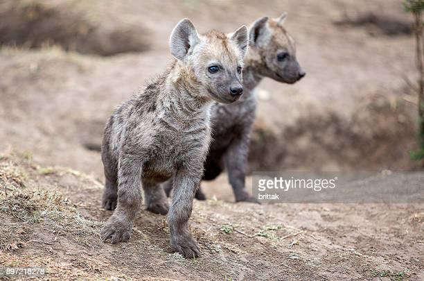 Hyena babies in Masai Mara , Olare Motorogi Conservancy, Kenya, East Africa, Africa,