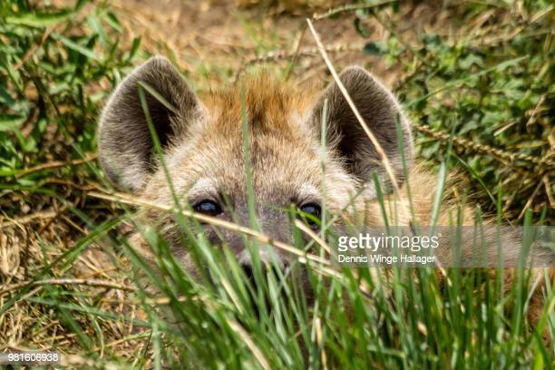 Hyena cub hiding