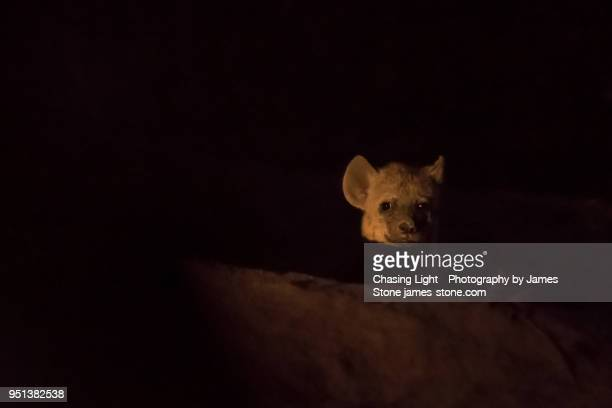 hyena cub in the dark - spotted hyena stock pictures, royalty-free photos & images