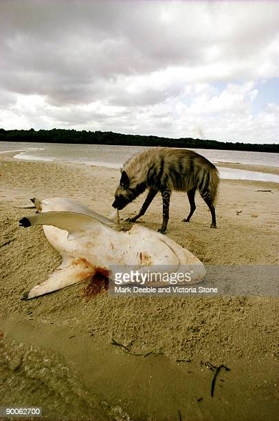 hyena eating shark carcase, east africa - hyena stock pictures, royalty-free photos & images