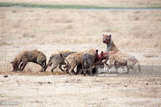 Hyena hunt in Ngorongoro Crater